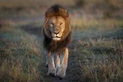 Lion King (andy_harris62) Tags: lion lionking kicheche kichechecamps masai masaimaranorthernconservancy safari kenya nikond850 nikon nikkor300mmf28 wild wildlifephotography nature naturephotography lifetimeexperience outdoors outside