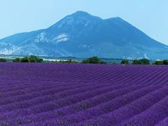 P1120971 (alainazer) Tags: valensole provence france fiori fleurs flowers fields champs colori colors couleurs lavande lavanda lavender montagne ciel cielo sky