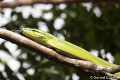 Gonyosoma oxycephalum (Red-tailed Rat Snake) (GeeC) Tags: tatai animalia serpentes colubrinae gonyosoma chordata squamata kohkongprovince gonyosomaoxycephalum cambodia nature colubridae reptilia lizardssnakes redtailedratsnake snakes