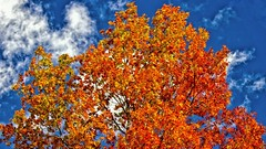 Autumn in the Tree Tops (Bob's Digital Eye 2) Tags: autumn autumncolour autumnleaves bobsdigitaleye2 canon canonefs55250mmf456isstm efs1855mmf3556isii eos600d flicker flickr foliage nature oct2019 t3i tree