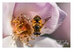 Something in my eye (Bob Geilings) Tags: honeybee bee rose floral flower yellow pink bokeh mood flora closeup macro nature