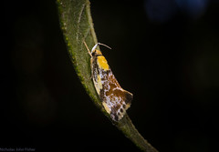 Eulechria hilda (dustaway) Tags: insecta lepidoptera australia oecophoridae oecophorinae eulechriahilda australianmoths australianinsects tamborinemountain mounttamborine sequeensland