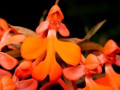 Habenaria rhodocheila1 (Eerika Schulz) Tags: habenaria rhodocheila herrenhausen herrenhäuser garten gärten berggarten hannover eerika schulz