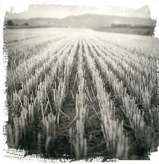 Harvested (Mark Dries) Tags: markguitarphoto markdries hasselblad500cm france lavender provence mediumformat darkroomprint darkroom foma liquidemulsion hahnemuehle brittannia texture print primtmaking