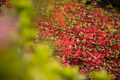 (louisa_catlover) Tags: nationalrhododendrongardens dandenongrangesbotanicgarden garden nature outdoor dandenongs olinda melbourne victoria australia spring bokeh dof azaleas red green pink colourful bright
