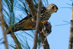 Merlin (Falco columbarius) (tweezle1) Tags: falcocolumbarius