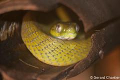Boiga cyanea (Green Cat Snake) (GeeC) Tags: boigacyanea tatai animalia serpentes colubrinae nature chordata squamata kohkongprovince cambodia reptilia colubridae boiga catsnakes greencatsnake lizardssnakes snakes