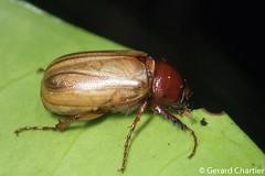 photo-2259132.jpg (GeeC) Tags: melolonthinae tatai scarabaeidae nature coleoptera cambodia kohkongprovince insecta animalia arthropoda scarabaeoidea beetles chafers scarabbeetles khumruesseichrum