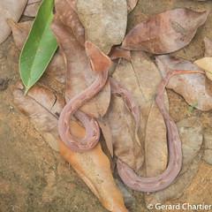Calloselasma rhodostoma (Malayan Pit Viper) (GeeC) Tags: tatai animalia serpentes reptilia nature chordata squamata kohkongprovince calloselasmarhodostoma cambodia calloselasma viperidae crotalinae lizardssnakes malayanpitviper pitvipers snakes ឃុំឫស្សីជ្ kohkong