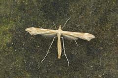 Photo of 45.008 Gillmeria pallidactyla, Kincraig, Fife