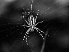 spider II (irenetrazzi) Tags: spider ragnatela ragno web bw blackandwhite black white bianco biancoenero insect insetto