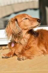 Morning sunshine (35mmMan) Tags: dachshund miniaturedachshund sausagedog doxie wiener longhaired shadedred pedigree hound