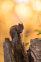 « L'ami ! » Tamia rayé (pascaleforest) Tags: passion nikon nature canada quebec faune wildlife wild animal