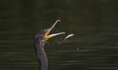 Splash and Spray effect., but I couldn't manage less than 800 Shutter (Ann and Chris) Tags: amazing beautiful cormorant fish slowshutter water spray effect unusual impressive interesting close lake wild rutlandwater rutland unconventional