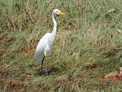 Weizhou Island/涠洲岛 -Mesophoyx intermedia/Intermediate Egret/中白鹭 DSCN4434 (Petr Novák (新彼得)) Tags: weizhouisland 涠洲岛 中国 china čína 广西 guangxi 亚洲 asia asie 岛 island volcanicisland 火山岛 pták bird 鸟 zvíře 动物 animal egret nature wildlife intermediateegret medianegret smalleregret yellowbilledegret ardeaintermedia egrettaintermedia mesophoyxintermedia ardea egretta mesophoyx