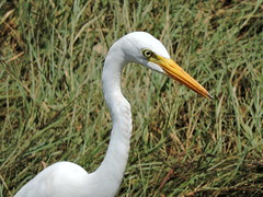 Weizhou Island/涠洲岛 - Mesophoyx intermedia/Intermediate Egret/中白鹭 DSCN4436 (Petr Novák (新彼得)) Tags: weizhouisland 涠洲岛 中国 china čína 广西 guangxi 亚洲 asia asie 岛 island volcanicisland 火山岛 pták bird 鸟 zvíře 动物 animal egret nature wildlife intermediateegret medianegret smalleregret yellowbilledegret ardeaintermedia egrettaintermedia mesophoyxintermedia ardea egretta mesophoyx