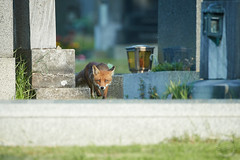 Rotfuchs - Red Fox - Vulpes vulpes (Andreas Gruber) Tags: rotfuchs fuchs redfox fox vulpesvulpes tier animal säuger säugetier mammal wien vienna meidlingerfriedhof cemetary österreich austria natur nature wildlife andreasgruber