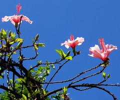 Hoje, amanhã, depois de amanhã (Américo Meira) Tags: portugal lisboa belém hibisco flor