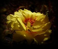 ottobre fiorito (fotomie2009) Tags: portulaca grandiflora yellow succulent succulenta flora flower fiore low key