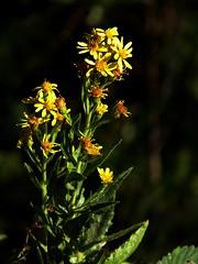 ottobre fiorito (fotomie2009) Tags: flora flowers fiore wild nature yellow spontaneous spontaneo wildflowers goldenrod solidago verga doro comune golden rod