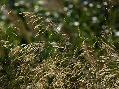 wind (fotomie2009) Tags: spots flora flowers fiore grass erba wild nature wind vento