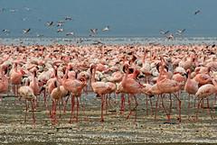 La vie en rose (juanita nicholson) Tags: pink feathers flamingos birds wildlife nature outdoors wild lake lakenakuru kenya outside ngysaex