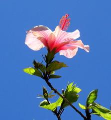 hoje e amanhã (Américo Meira) Tags: portugal lisboa hibisco belém flor