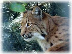 Luchs / Lynx (ursula.valtiner) Tags: natur nature tier animal luchs lynx wildpark wildlifepark derwildeberg mautern steiermark styria austria autriche österreich