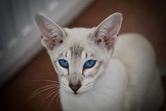 Blue Eyes (Madr@t) Tags: lyekka bluetabbypointsiamese siamese siamesecat canonefs60mmf28macrousm lens00025