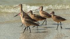 The Godwits are moving on (Carol Matthai Photography) Tags: bowditchbeach shorebirds blackskimmer semipalmatedplover sandwichterns marbledgodwit brownpelican