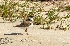 Semipalmated plover (Carol Matthai Photography) Tags: bowditchbeach shorebirds blackskimmer semipalmatedplover sandwichterns marbledgodwit brownpelican