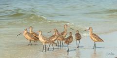 Godwit gathering (Carol Matthai Photography) Tags: bowditchbeach shorebirds blackskimmer semipalmatedplover sandwichterns marbledgodwit brownpelican