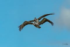 Brown Pelican synchronized (Carol Matthai Photography) Tags: bowditchbeach shorebirds blackskimmer semipalmatedplover sandwichterns marbledgodwit brownpelican