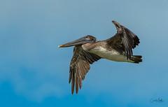 Brown Pelican overhead-5 (Carol Matthai Photography) Tags: bowditchbeach shorebirds blackskimmer semipalmatedplover sandwichterns marbledgodwit brownpelican
