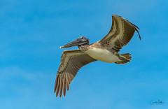 Brown Pelican overhead-4 (Carol Matthai Photography) Tags: bowditchbeach shorebirds blackskimmer semipalmatedplover sandwichterns marbledgodwit brownpelican
