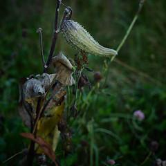 milkweed with grasses, at dawn, 10-12-19 (wbhmatthies) Tags: milkweed leaves wild flowers grasses dawn panasonic panasonics1 gcs1 captureone12pro capture one fall wilhelm wilhelmmatthies