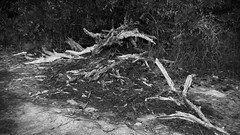 Dead tree Skeleton (DayBreak.Images) Tags: suburban atlanta georgia dekalbcounty arabiamtn naturepreserve dead tree skeleton stilllife canondslr meyeroptic 50mm trioplan lightroom bw