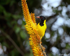 Black-headed Oriole, juvenile (leendert3) Tags: leonmolenaar southafrica krugernationalpark wildlife wildanimal wildflowers nature naturereserve naturalhabitat bird blackheadedoriole ngc npc naturethroughthelens coth5