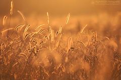 Golden Hour Delights (right2roam) Tags: nebraska iowa prairie tallgrass sunshine goldenhour sunlight grass glowing glow bokeh right2roam desoto wildliferefuge morning desotobend missouririver grassland greatplains