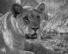 Young Lioness