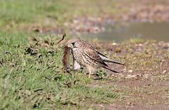 Kestrel Falco tinnunculus (Stuart Carlton) Tags: kestrel falcotinnunculus bird falcon rspblangfordlowfields nottinghamshire