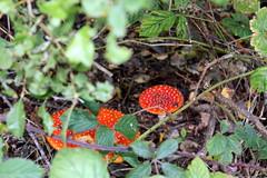 Amanita muscaria (Davydutchy) Tags: amanita muscaria fly agaric mouche toadstool mushroom paddestoel létat agaricky houba champignon pilz zwam zwammen october 2019