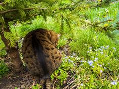Bubu in the garden (Raoul Pop) Tags: animal bubu flower forgetmenot garden home outdoors plant spring time vegetal vegetation