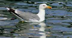 Time to reflect.... (ᗰᗩᖇᓰᗩ ☼ Xᕮ∩〇Ụ) Tags: seagull γλάροσ möwe reflections animal vogel bird nature natur moments momente greece griechenland water