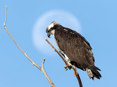 Osprey, Moon Back Lit (Ed Sivon) Tags: america american canon nature lasvegas wildlife western wild white southwest desert clarkcounty vegas flickr bird henderson nevada