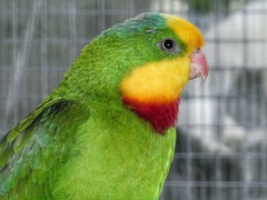 Superb Parrot (sander_sloots) Tags: superb parrot polytelisswainsonii barrabandparkiet parakeet aviary bird dctz90 lumix panasonic australia australian volière dordrecht vogel parkiet papegaai weizigtpark