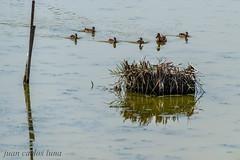 PATOS (juan carlos luna monfort) Tags: animal patitos duck bird ave rietvell deltadelebro deltadel´ebre laguna reflejo reflejos nido agua water nikond810 sigma150500 calma paz tranquilidad