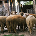 A flock of sheep in a farm yard