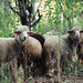A flock of sheep standing on a pasture looking at the camera