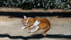 The afternoon nap on the carpet (dl1ydn) Tags: dl1ydn cat katzen tiere sleep canonfd 3570mmf4 manuell manualfocus oldlens